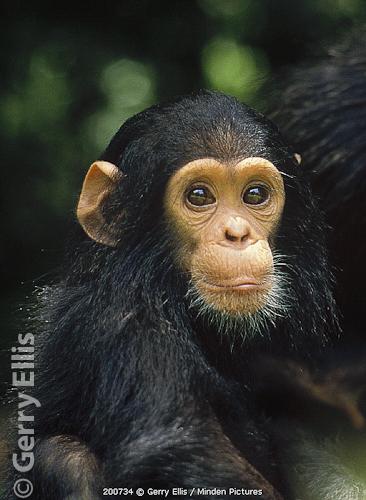 Faustino baby chimp Gombe Stream