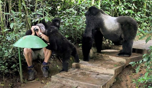 tourist touched by mountain gorilla